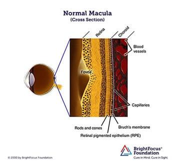 Normal Macula